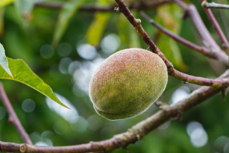 Liten persika som mognar på ett persikaträd arkivbild