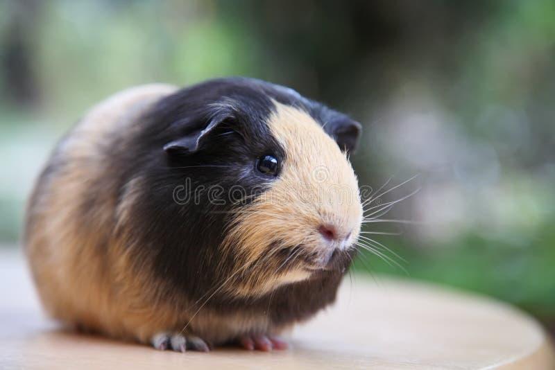 liten pig för gullig guinea arkivbild