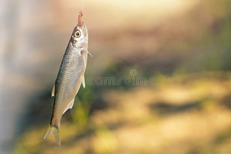 Liten precis fångad fisk på kroken royaltyfri bild