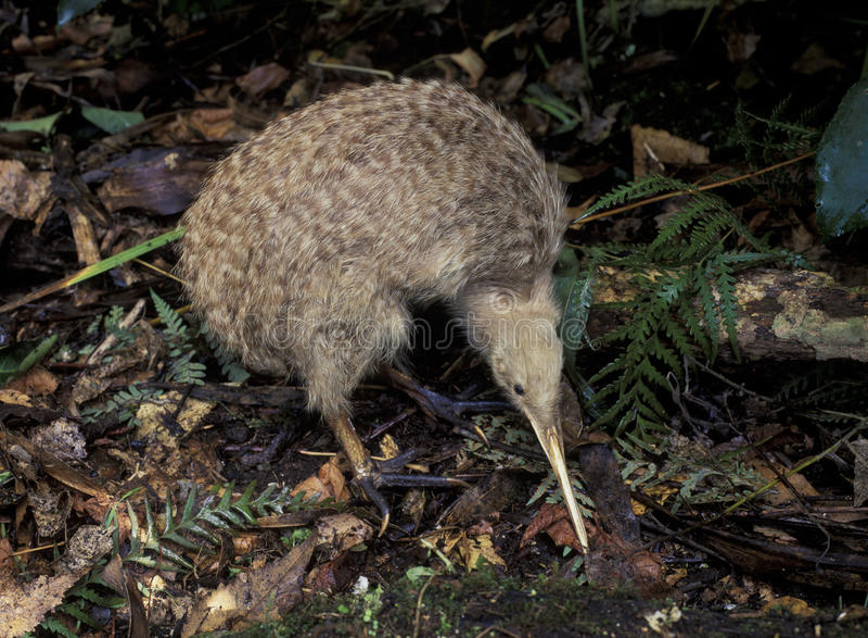 Liten prickig kiwi arkivbild