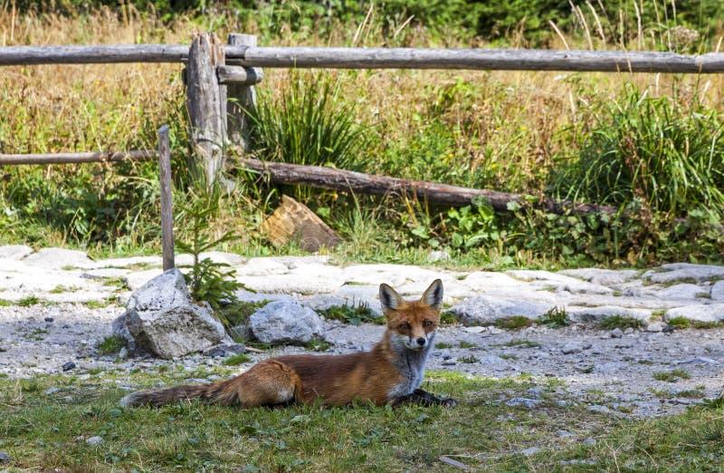 Liten räv på skogen i höga Tatras berg, Slovakien arkivfoton