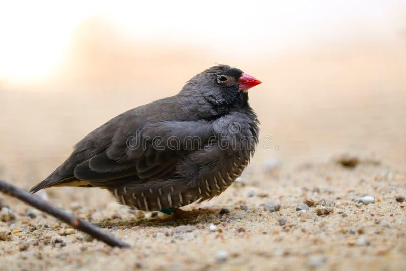 Liten röd-fakturerad quailfinch som sitter på det sandiga golvet fotografering för bildbyråer
