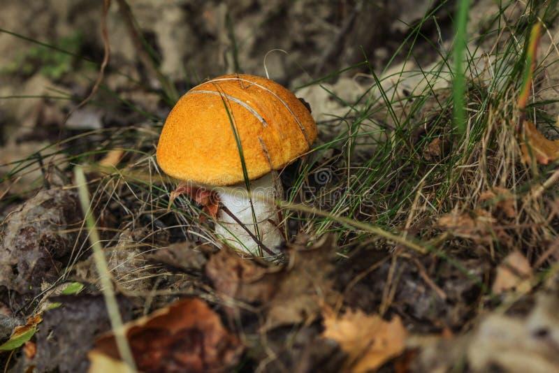 Liten Röd-korkad scaber förföljer boleteLeccinumaurantiacum i skog, torra sidor och gräs omkring royaltyfria bilder