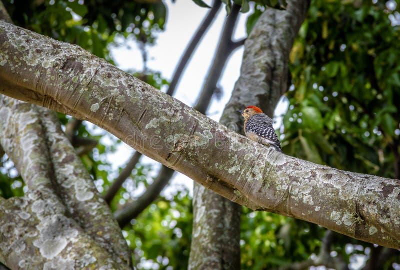 Liten Röd-krönad hackspettfågel i ett träd - Cali, Colombia arkivfoto