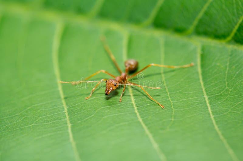 Liten röd myra på det gröna bladet royaltyfri foto