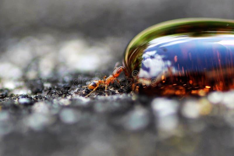 Liten röd myra som dricker en droppe av sirap royaltyfri foto