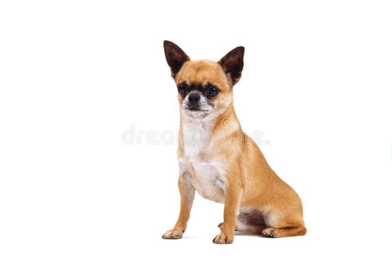 Liten rödhårig chihuahuaavelhund på vit bakgrund royaltyfri foto