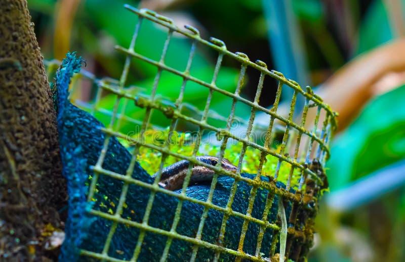 Liten reptil, Seychellerna |Botanisk trädgård royaltyfri bild