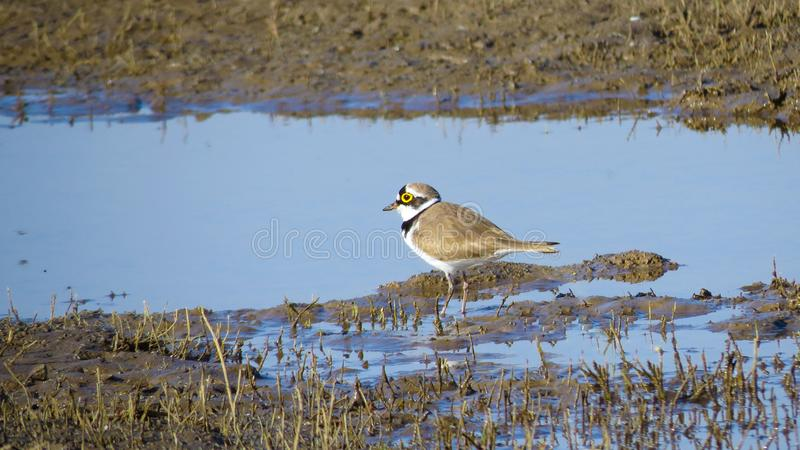 Liten ringed brockfågel på vattenhålet arkivfoto