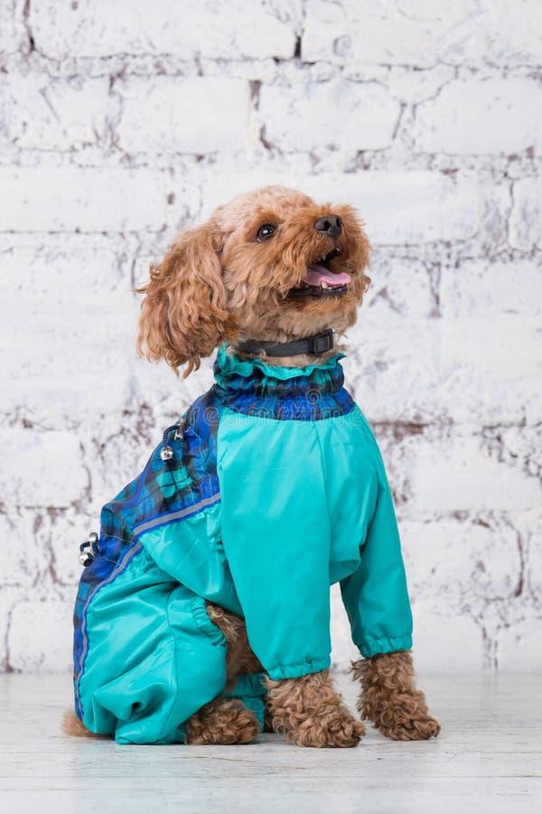 Liten rolig hund av brun f?rg med lockigt h?r av aveln f?r leksakpudel som poserar i kl?der f?r hundkappl?pning ?mnestillbeh?r oc arkivbilder