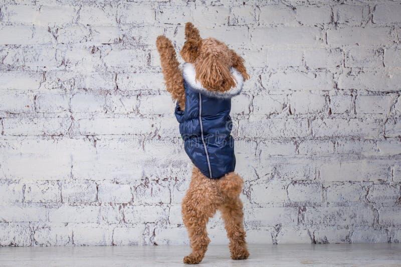 Liten rolig hund av brun f?rg med lockigt h?r av aveln f?r leksakpudel som poserar i kl?der f?r hundkappl?pning ?mnestillbeh?r oc arkivbild