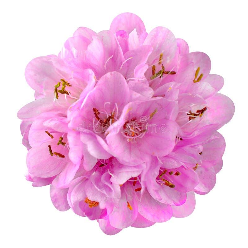 Download Liten Rosa Färgblomma - Boll Dombeya Som Isoleras På Vit Arkivfoto - Bild av closeup, garnering: 37349830