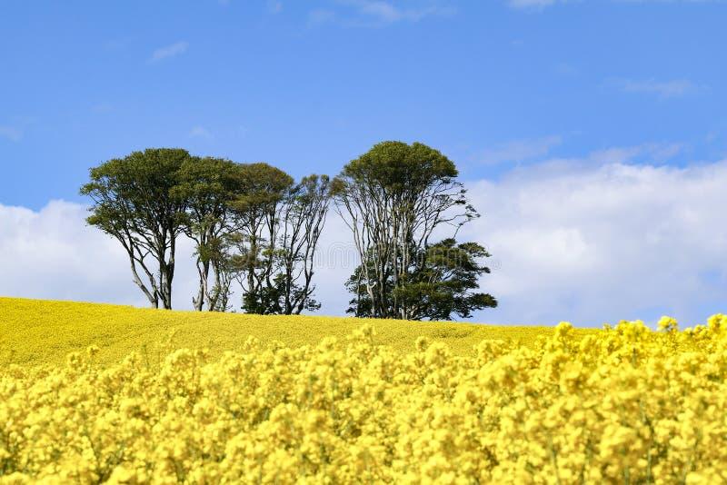 Liten rugge av träd i fältet av ljusa gula blommor av rapsfröBrassicanapusen royaltyfria foton
