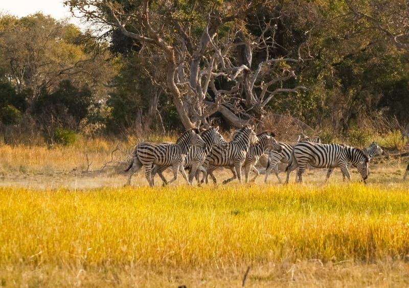 Liten sebraflock som går förbi i Botswana fotografering för bildbyråer