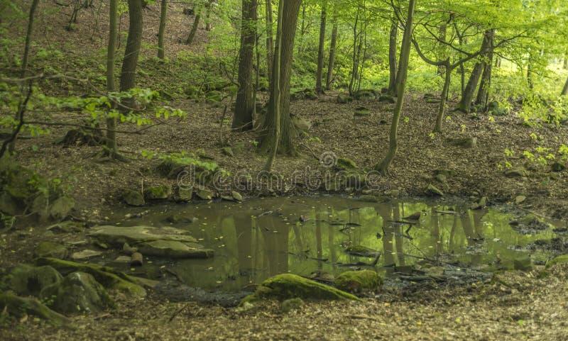 Liten sjö i mörk svinskog royaltyfri foto
