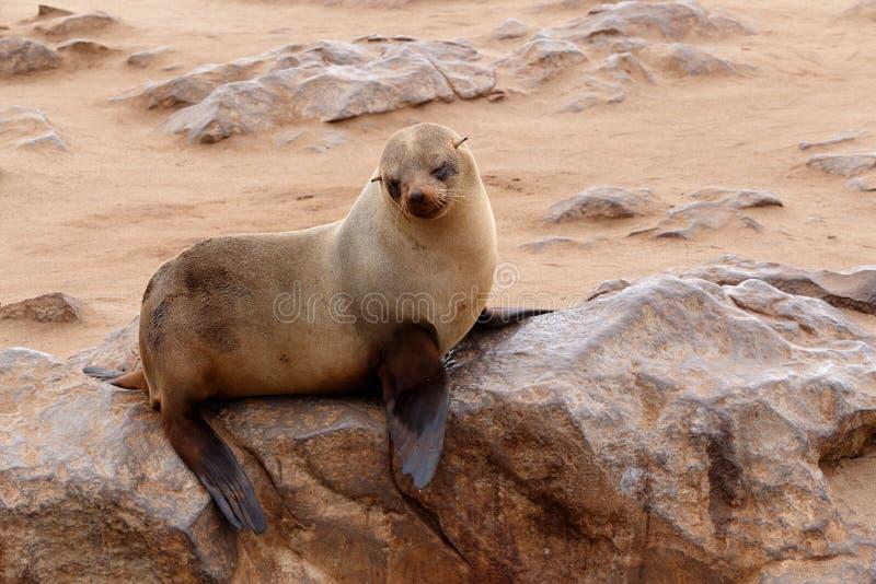 Liten sjölejon - brun pälsskyddsremsa i uddekorset, Namibia royaltyfri fotografi