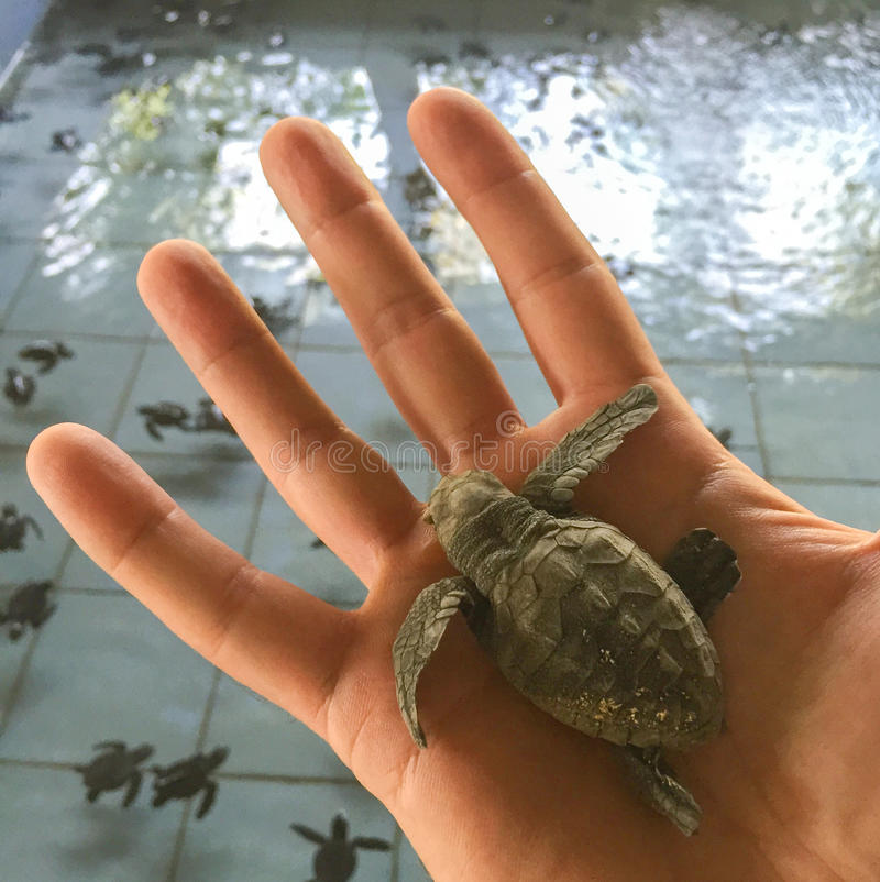 Liten sköldpadda i mannens hand Kläcka för havssköldpadda arkivbild