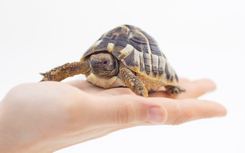 Liten sköldpadda (sköldpadda) i hand arkivfoton