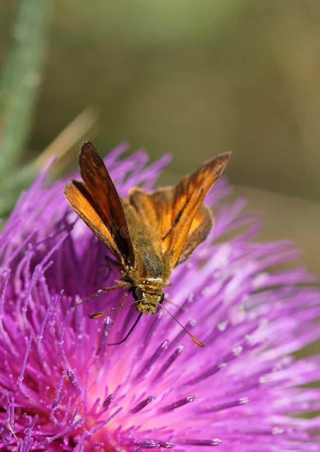 Liten skeppare - Thymelicus sylvestris arkivfoton