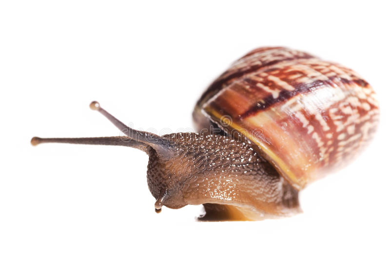 Liten snail royaltyfria foton