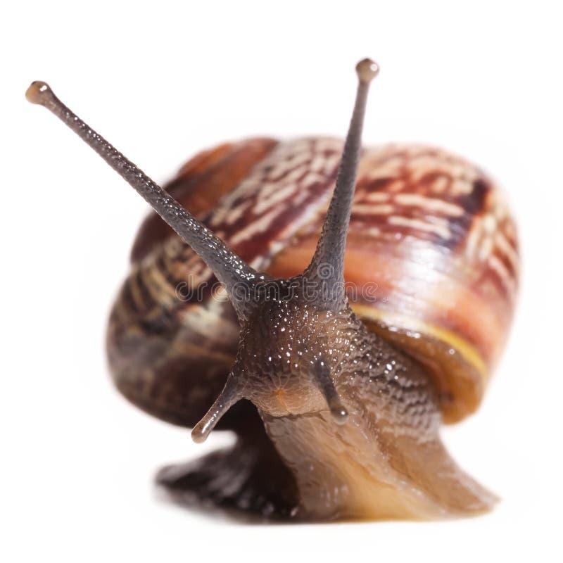 Liten snail arkivfoton