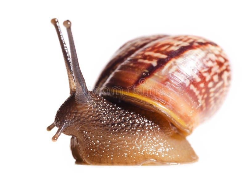 Liten snail royaltyfri foto