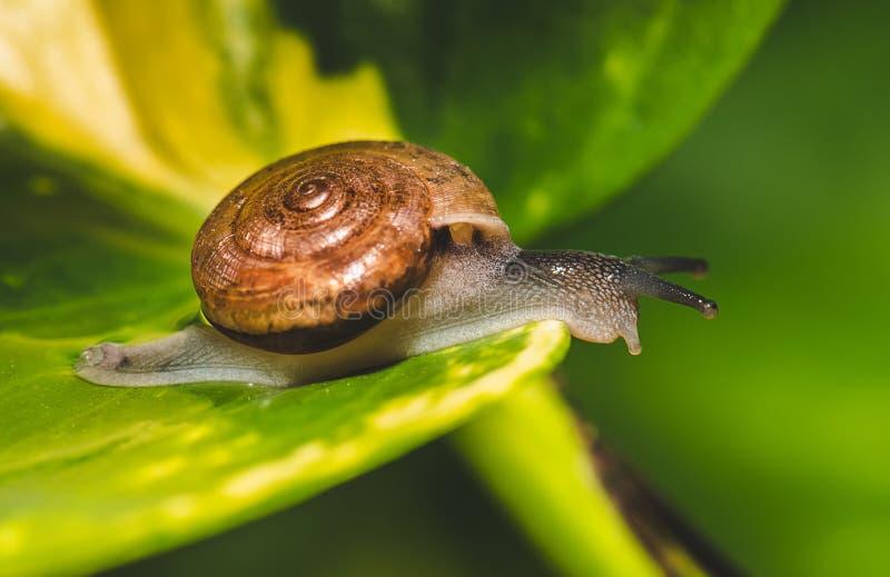 liten snail f?r brun gr?n leaf fotografering för bildbyråer