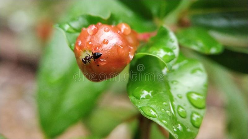 Liten snickaremyra som äter den omogna granatäpplet royaltyfri bild