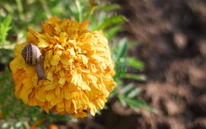 Liten snigel som äter den gula blomman arkivbilder