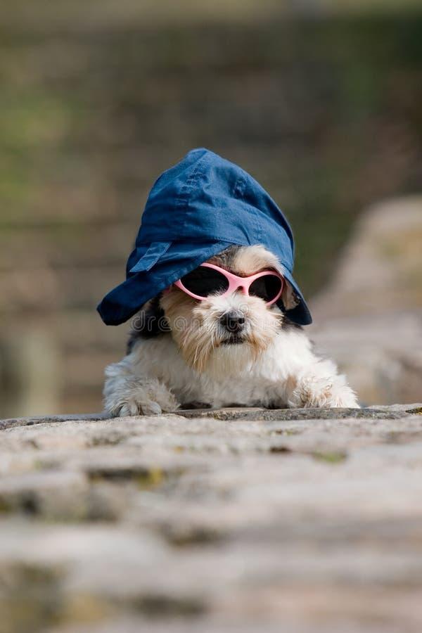 liten solglasögon för hundhatt royaltyfria foton