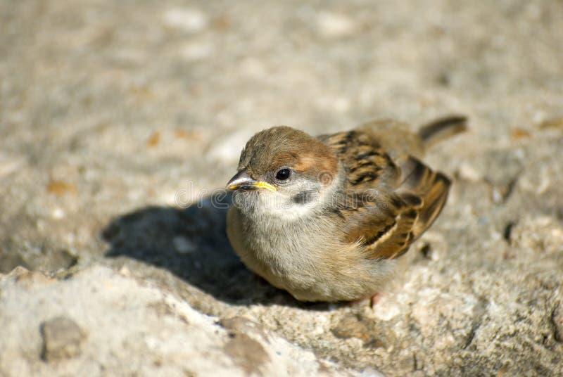 liten sparrow royaltyfria foton