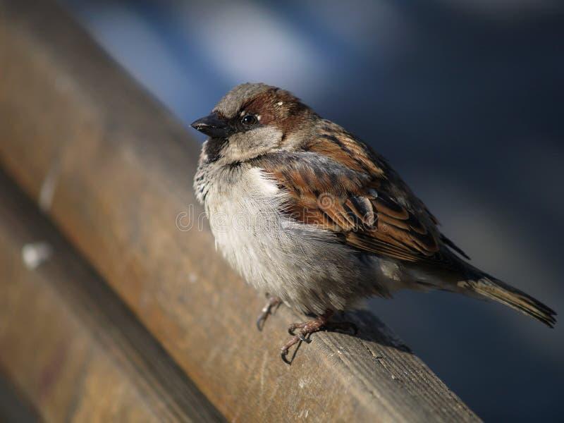 liten sparrow arkivbilder
