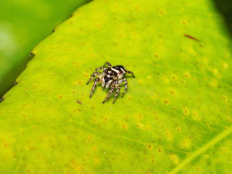liten spindel royaltyfri bild