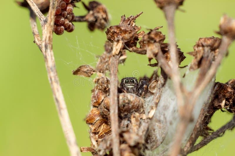 Liten spindelnärbild som döljer på en torr filial royaltyfria foton