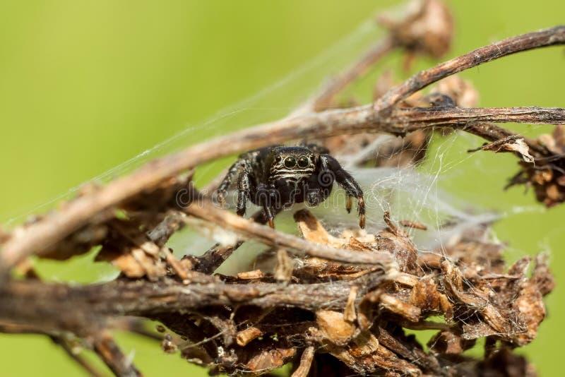 Liten spindelnärbild som döljer på en torr filial royaltyfri foto