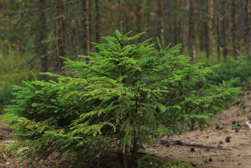 Liten spruce royaltyfri foto