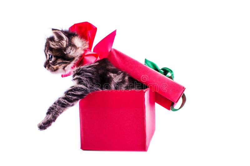 Liten strimmig kattkattunge i en röd gåvaask med en pilbåge royaltyfri bild