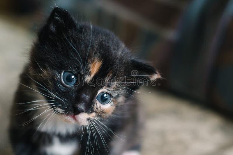 Liten svart katt med vita och röda fläckar och blåa ögon royaltyfria foton