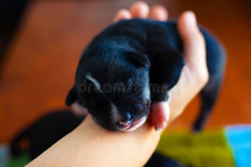 Liten svart valp som sover i hans armar arkivfoton