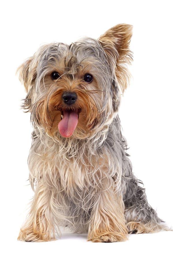 liten terrier yorkshire royaltyfri bild