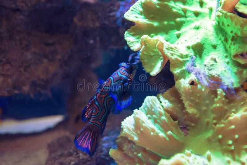 Liten tropisk fisk Mandarinfish fotografering för bildbyråer