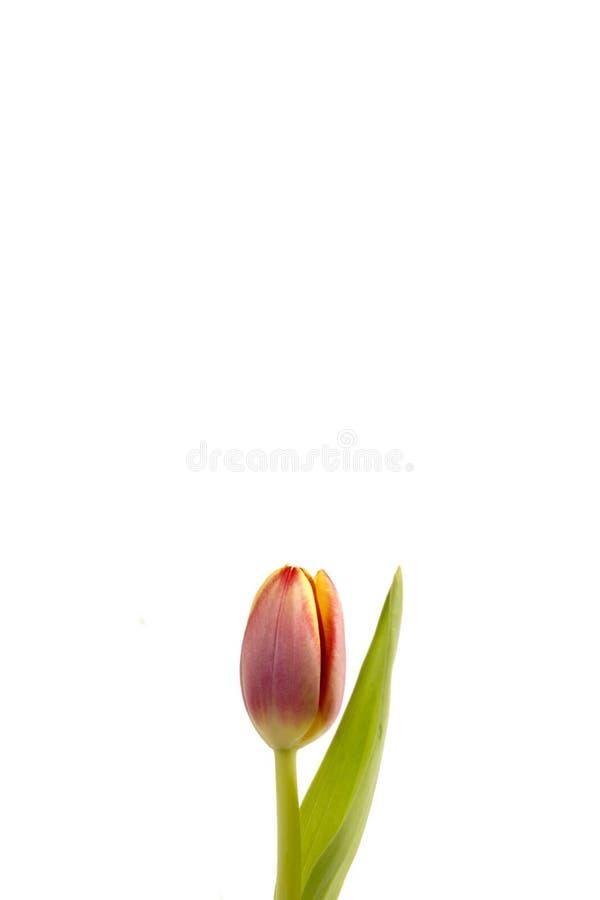 Liten tulpan på en vit bakgrund arkivfoto