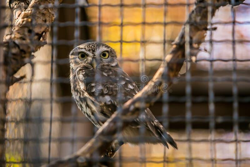 Liten uggla, Athenenoctua som sitter på en filial royaltyfri bild
