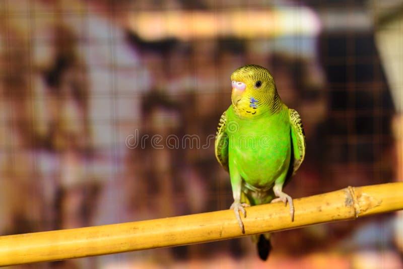Liten undulat i en fågelbur arkivfoto