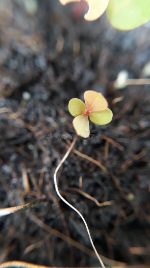 Liten växt av släktet Trifolium arkivbilder