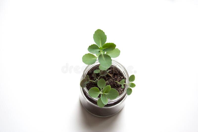 Liten växt för mintkaramellsedumsieboldii fotografering för bildbyråer
