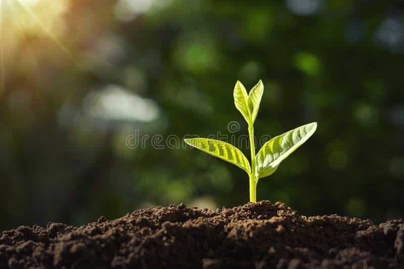 liten växt som växer med solsken ?kerbruk comcept arkivfoto