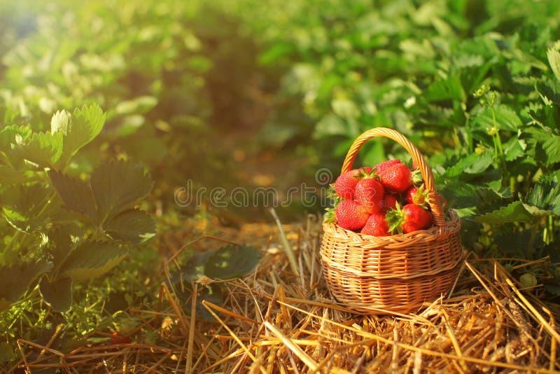 Liten vide- korg mycket av jordgubbar och att lägga på en sugrörgrou arkivfoto