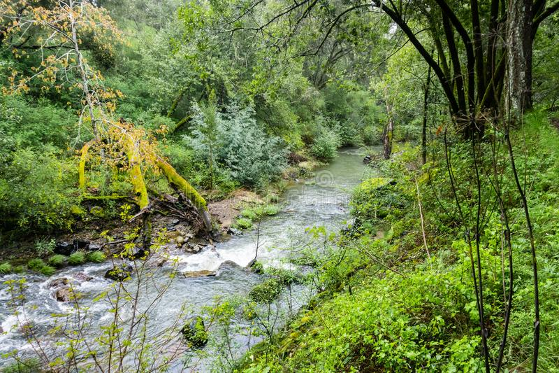 Liten vik som flödar till och med en frodig grön skog, Jasper Ridge Biological Preserve, San Francisco Bay område, Kalifornien fotografering för bildbyråer