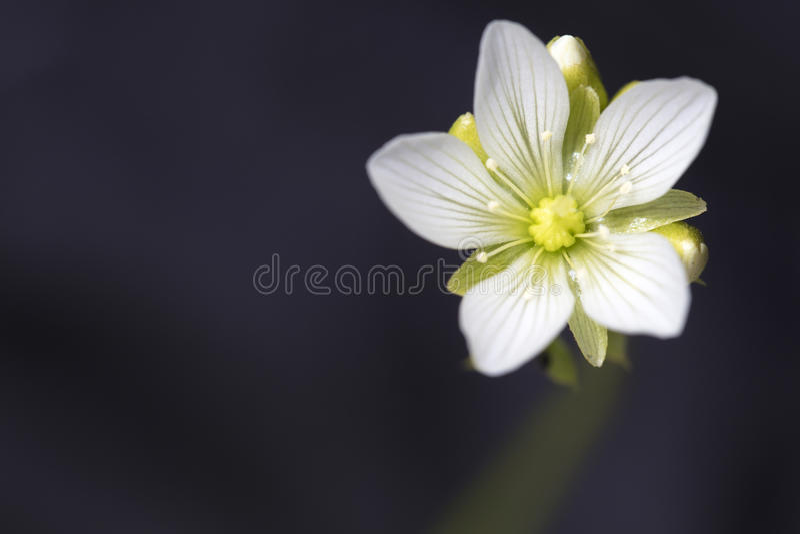 Liten vit blomma av den Venus Flytrap växten arkivbild